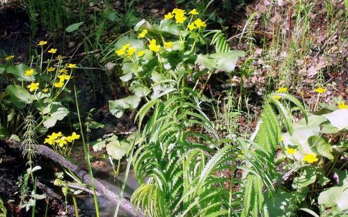 Калужница - цветочек около лужи