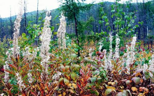 Летом это были цветы Иван-чая