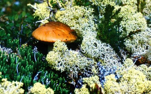 Оленьи деликатесы – грибы с ягелем