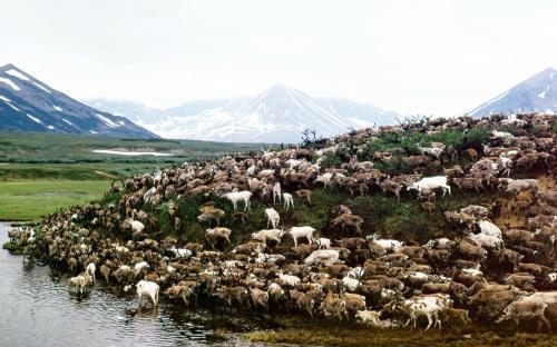 Ольха и березка – главный корм оленя