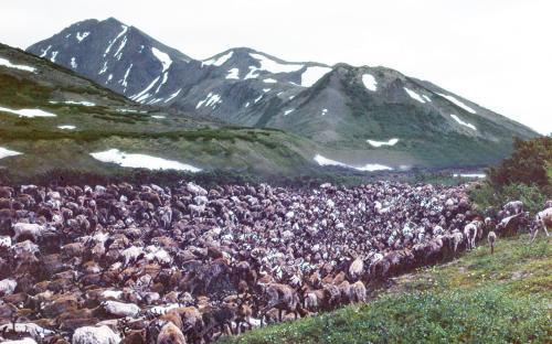 Три тысячи голов, шесть тысяч рогов, двенадцать тысяч копыт