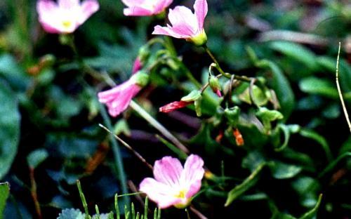 Цветы тундры
