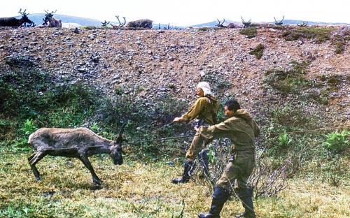 Чтобы оленя вылечить, его надо сначала поймать